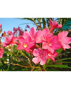 Arali Flower (Pink)