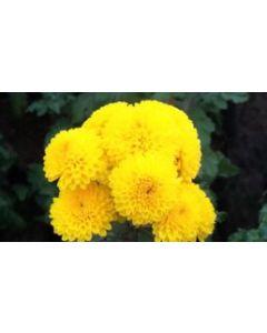 ChamanthiChrysanthemums)Yellow
