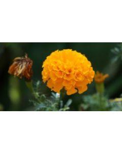 Marigold (Banthi Puvvulu)