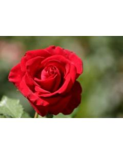 Button RoseRed