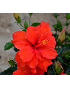 Hibiscus (Mandaara Puvvu)Seasonal